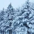Snow Flocked Pines by Lori Frisch