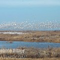 Snow Geese 100_0772 by Captain Debbie Ritter