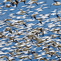 Snow Geese by Ed Book