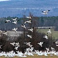 Snow Geese by Heather Curvin
