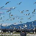 Snow Geese Rising by Tom Cochran
