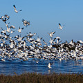 Snow Geese Takeoff I by Irene Abdou