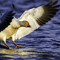 Snow Goose2 by Marie Elise Mathieu