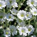 Snow In Summer Flowers by Karen Adams