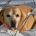Snow Lab by Steven Lapkin