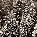 Snow-laden Forest by Will Borden