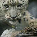 Snow Leopard 11 by Ernie Echols