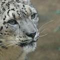 Snow Leopard 8 by Ernie Echols