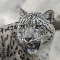 Snow Leopard by Andrew Lelea