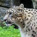 Snow Leopard, Asia by Arterra Picture Library