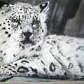 Snow Leopard by Bonnie Rogers