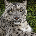 Snow Leopard by Chris Lord