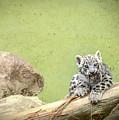 Snow Leopard Cub by Cindi Alvarado