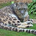 Snow Leopard, Doue-la-fontaine Zoo, Loire, France by Curt Rush