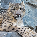 Snow Leopard In Rock Face by Arterra Picture Library