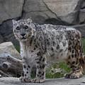 Snow Leopard by Matt Steffen
