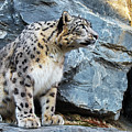 Snow Leopard On Rock Ledge by Arterra Picture Library