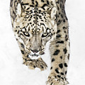 Snow Leopard On The Prowl X by Abeselom Zerit
