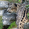 Snow Leopard Panthera Uncia by Arterra Picture Library
