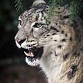 Snow Leopard Portrait by Athena Mckinzie