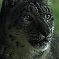 Snow Leopard by Rawshutterbug