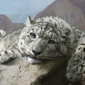 Snow Leopard Relaxing by Ernie Echols