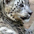 Snow Leopard by Stephen Anderson