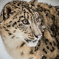Snow Leopard by Teresa Wilson