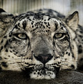Snow Leopard Upclose by Julian Starks