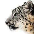 Snow Leopard Xv by Abeselom Zerit