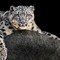 Snow Leopard Xxii by Abeselom Zerit