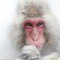 Snow Monkey Consideration by Rikk Flohr