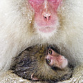 Snow Monkey Love by Michele Burgess