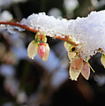 Snow On Blueberry Blossoms by Kristin Elmquist