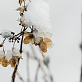 Snow On Bush Hydrangea by Robert Potts