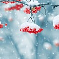 Snow On Red Berries by FL collection