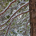 Snow On The Branches by Jonathan Nguyen