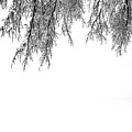 Snow On The Branches Two  by Lyle Crump