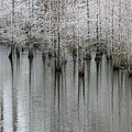 Snow On The Cypresses by Suzanne Gaff