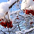 Snow On The Mountain Ash by Will Borden