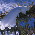 Snow Ornament - Joshua Tree by Soli Deo Gloria Wilderness And Wildlife Photography