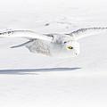 Snow Owl Glide by Rikk Flohr