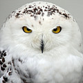 Snow Owl by Pierre Leclerc Photography