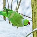 Snow Parrot by Andrew Balcombe