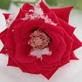 Snow Rose by Sergey Lukashin