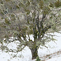 Snow Tree  by Carol  Eliassen