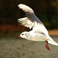 Snow White Seagull by Chris Wharmby