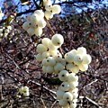 Snowberries by Will Borden