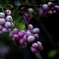 Snowberry 5191 H_2 by Steven Ward