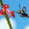 Snowberry Clearwing Also Known As A Hummingbird Moth by Brad Boland